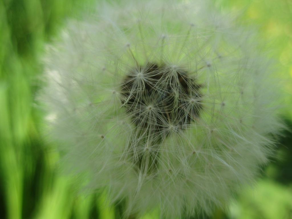Löwenzahn Samen